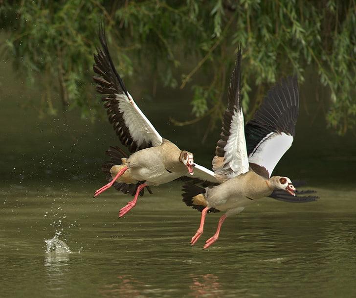 geese, animals, bill, poultry, water bird, wild goose, birds