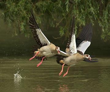 гъски, животни, бил, птици, вода птица, дивата гъска, птици
