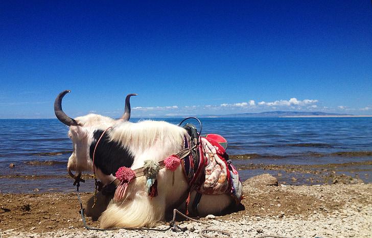 Як, Цинхай езеро, синьо небе, синьо, поддръжка, животните, почивка