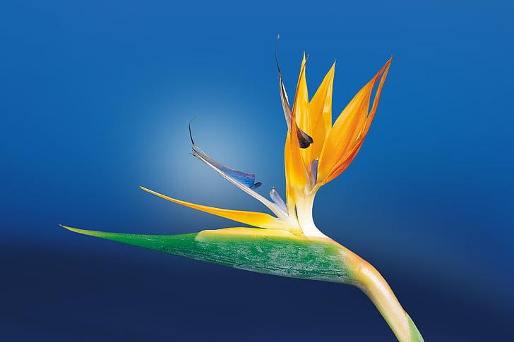 text, Strelitzia, flor au del paradís, Strelitzia orquídies, jardí botànic, Àfrica, jardí