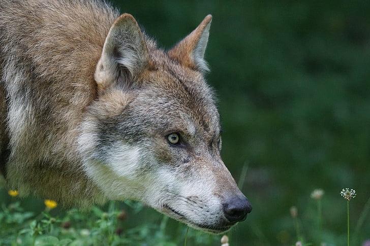 wolf, predator, european wolf, carnivores, mammal, attention, portrait