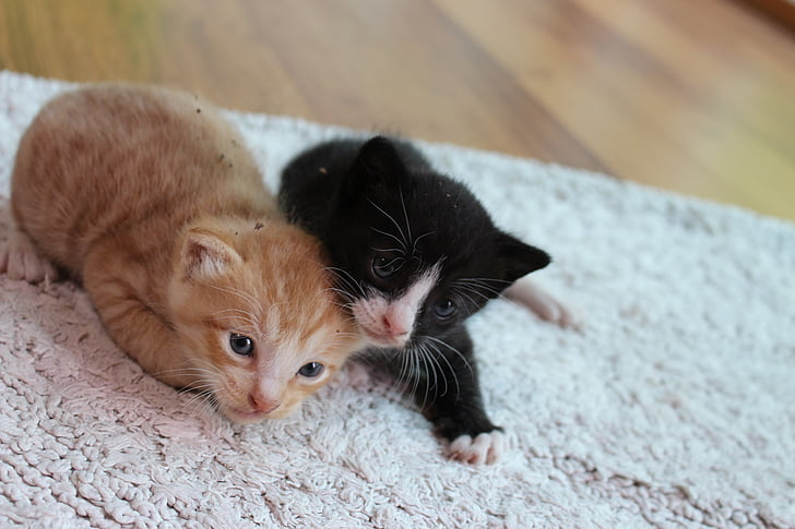 kitten, cat, pet, cats, cute, pets, two