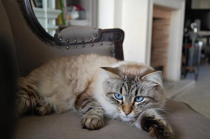 animal, cat lying, cat, long-haired cat