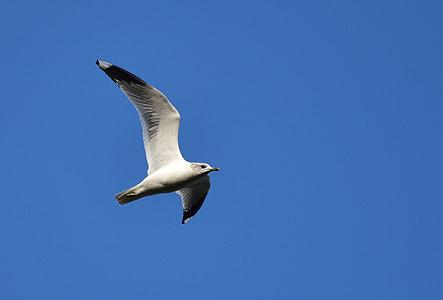 martı, sinek, gökyüzü, kuş, hayvan, kuşlar, mavi