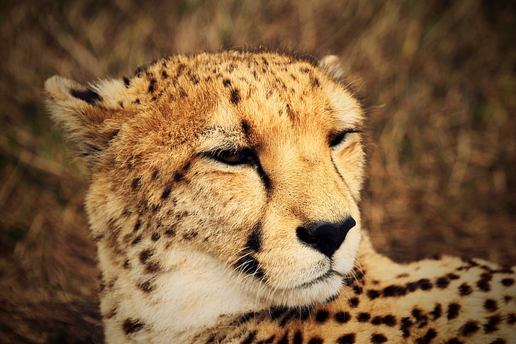 cheetah, wild, africa, fauna, savannah, wildlife, animals