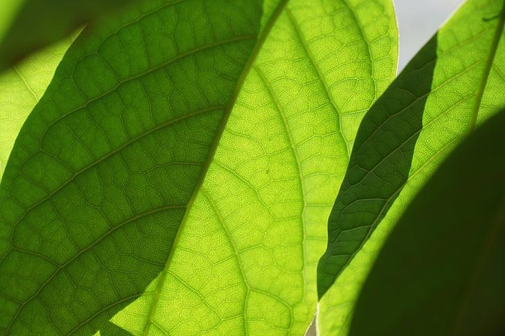 lehed, roheline, Mango, taim, lehed, loodus, oganic