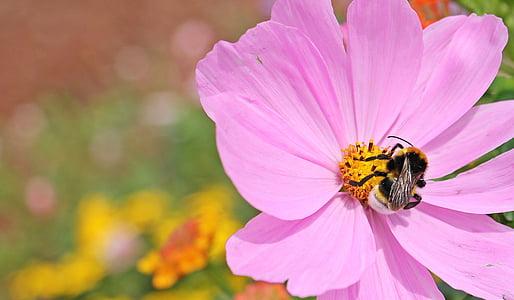 cosmos, cosmea bipinnata, flower, blossom, bloom, hummel, pink