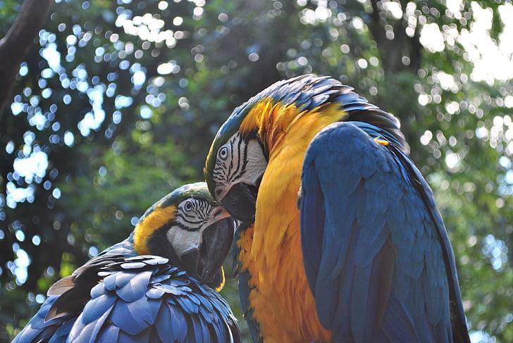 Linnut, Arara, lintu, papukaija, eksoottinen, Blue wings, keltainen rintojen