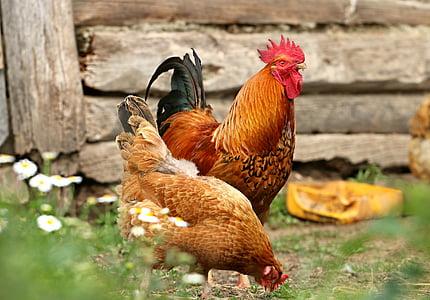 петел, пиле, село, двор, семейство, птица, Домашно огнище