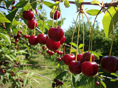 cseresznye, gyümölcsök, piros, gyümölcs