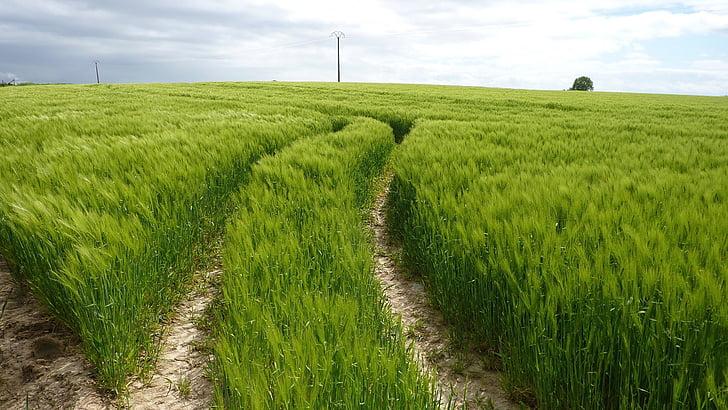 verd, pistes sinuosos, camp de blat, paisatge