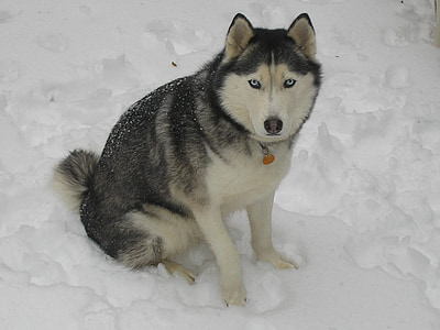 husky, snow husky, winter, dog, sled Dog, snow, pets