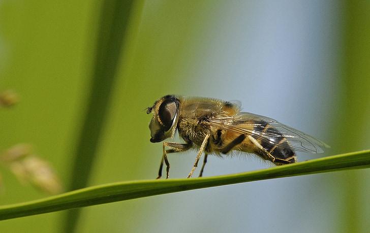 hoverfly, kukainis, makro, daba, makro fotogrāfiju, kukaiņu makro, Bite