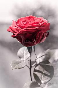 Hoa hồng, màu đỏ, màu đen và trắng, Hoa hồng, Hoa hồng nở, Blossom, nở hoa