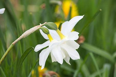 Narzissen, Blumen, Flora, Natur, Botanik, Anlage, weiß