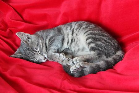 睡眠, 子猫, 残りの部分, 子猫, かわいい猫, 猫, 動物