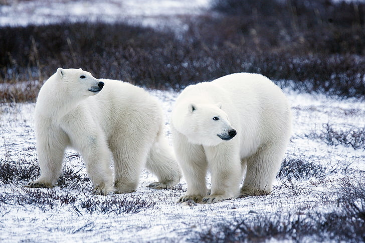 polar bears, wildlife, snow, nature, wild, mammals, predators