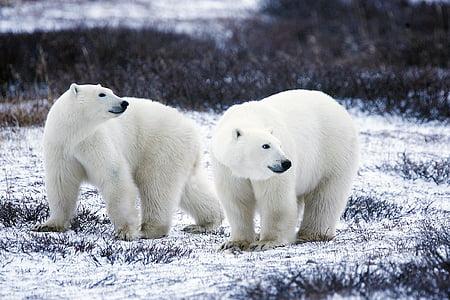 polar bears, wildlife, snow, nature, wild, mammals, predators