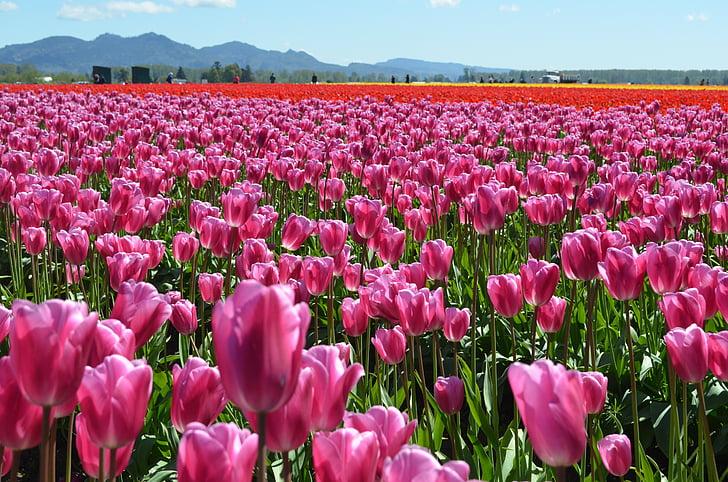 лалета, цветя, Пролет, розово, Блум, сезон, флорални