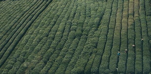 Poljoprivreda, Azija, Obrezivanje, Ekologija, uzgoj, polje, zelena