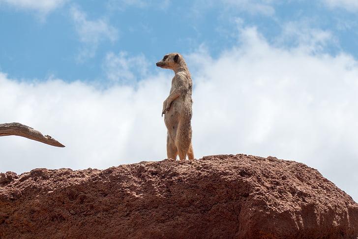 meerkat, horloge, bewaker, schattig, toezichthouder, aandacht, ausschau