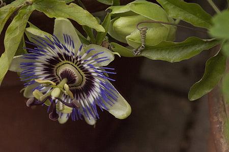 flor de la passió, planta de la passió, penjant