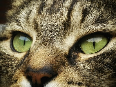 cat, cats, pet, cat face, mammal, animals, close up