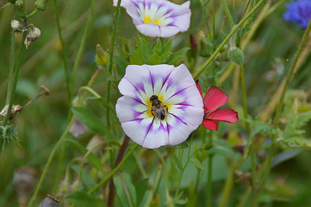 Wyka, kwiat, ogród, kwiat, Bloom, Natura, Flora