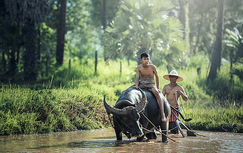 buffalo, agriculture, asia, cambodia, kids, china, chinese