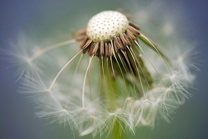 levinud võilill, võilill, Taraxacum sect, ruderalia, seemned, liitained, kevadel