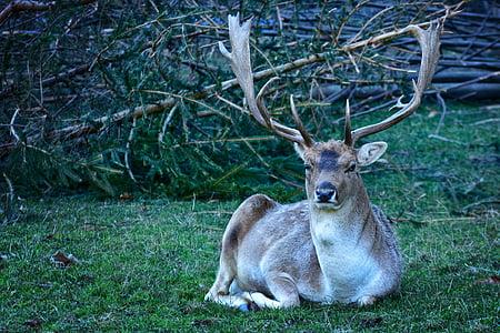 휴 경지 사슴, dama dama, 자연, 허쉬, 야생 동물, 가지 진 뿔, 남성