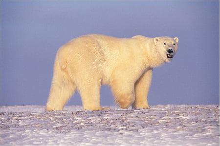 bear, walking, looking, snow, predator, white, arctic