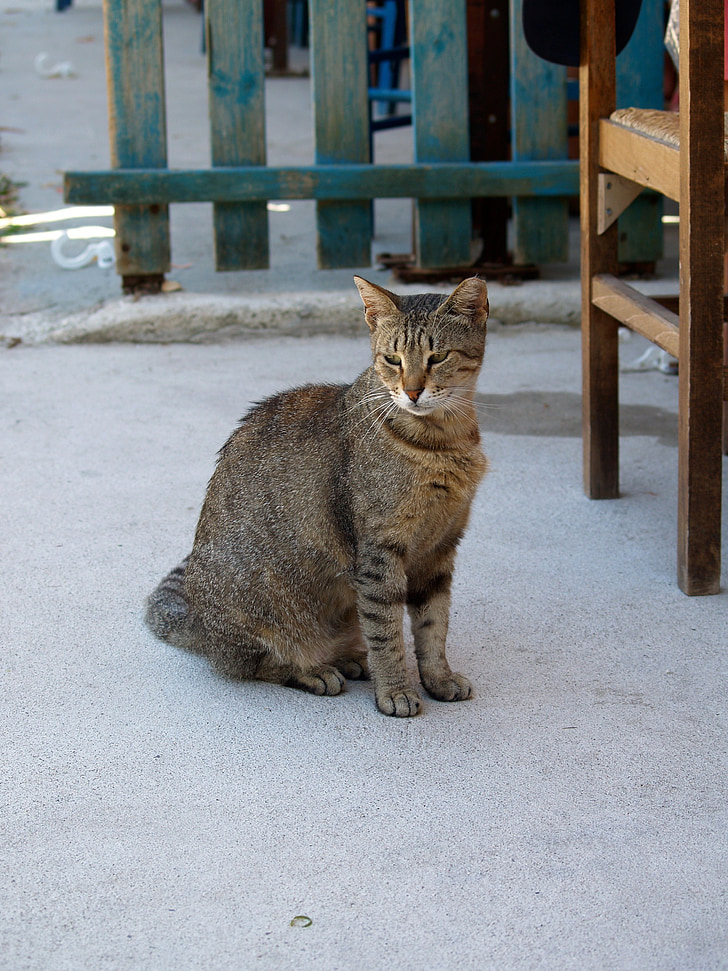 котка, Звярът, животните, заседание котка, домашна котка, домашни любимци, котешки
