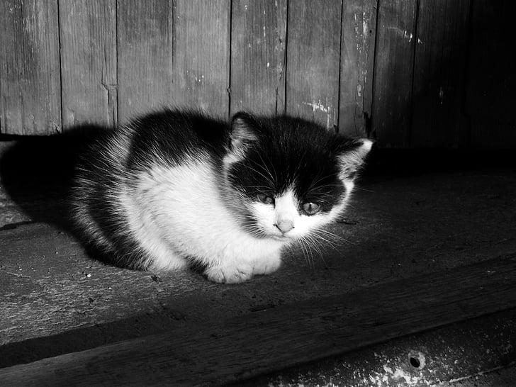 cat, kitten, kitty, pet, cute, black kitten, black and white cat