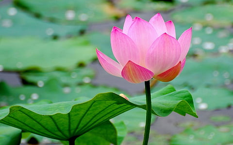 lotus, summer landscape, beautiful, water Lily, nature, lotus Water Lily, pond