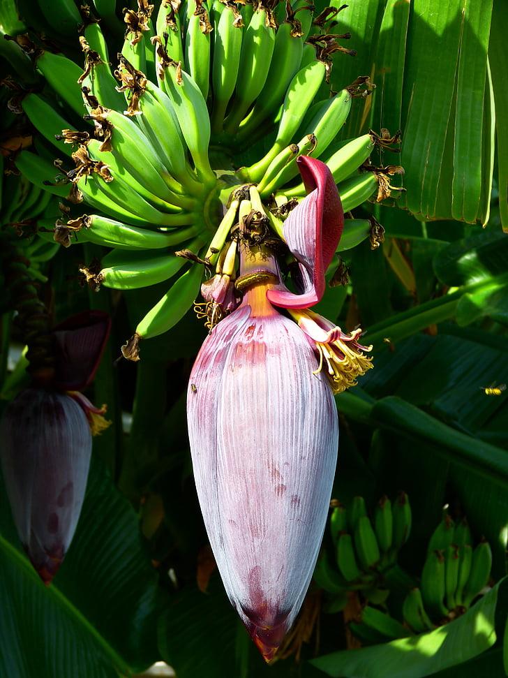 plàtan, flor, flor, flor de plàtan, fruita verda, Sa, deliciós