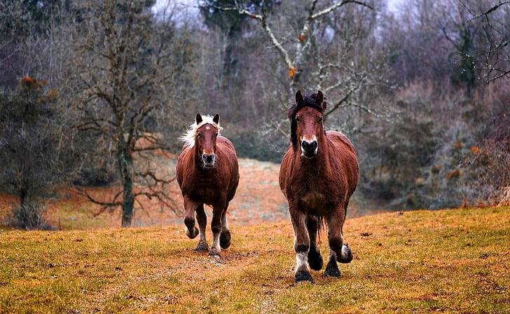 cavalls, natura, animal, cavall, animals, Hípica, cabellera