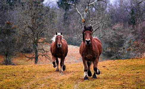 коне, природата, животните, кон, животни, еднокопитни, грива
