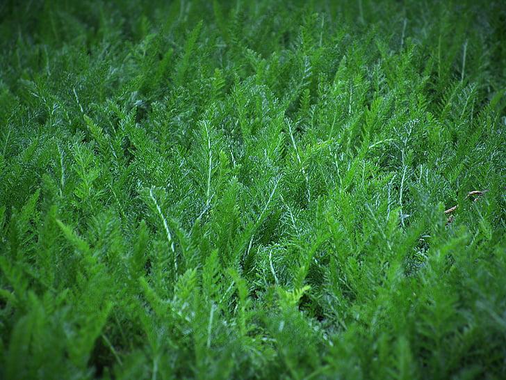 çimen, yaprakları, Yeşil, doğa, koyu yeşil, toprak, doğal