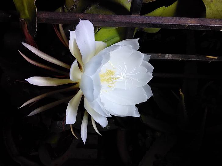 花, bramhakamal 花, 每年开花, 白花, 香味的花, 花卉特写, 自然