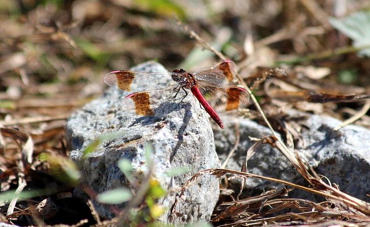 libèl·lula, libèl·lula vermella, pedra, tardor, herba seca, dípters, insecte