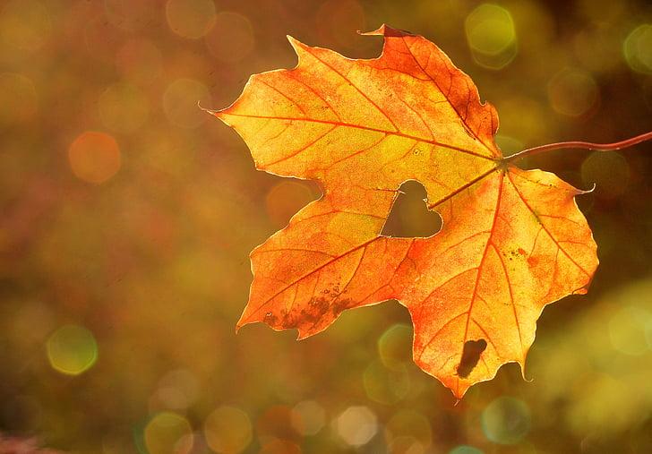 srce, ljubica, listov, jeseni, javor, boke, narave