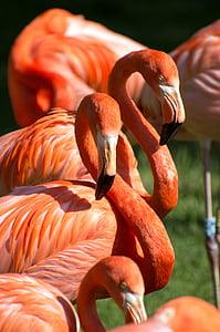 flamencs, taronja, vermell, verd, zoològic, ocell, grup