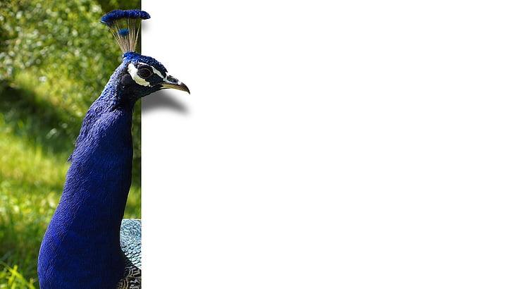 Peacock, lintu, sulka, sininen, kartta, EBV, kuvankäsittely