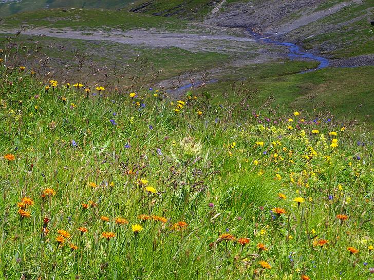Occitània, Prat d'estiu, alpí, flors alpines
