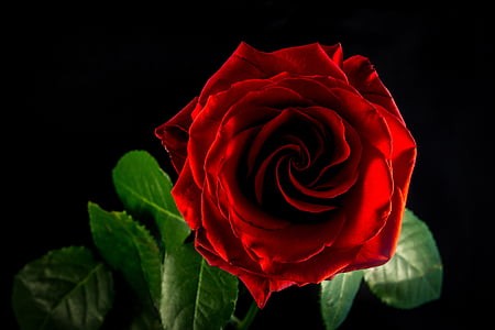 rose, flower, blossom, bloom, nature, red rose, red