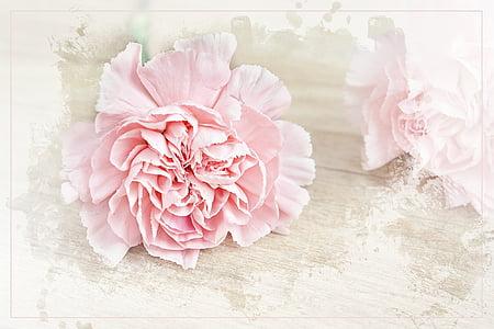 flor, Clavell, flor, flor, Rosa, pètals, Clavell Rosa