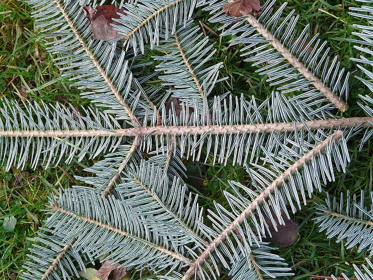tannenzweig, männyn neulasia, kuusen, Siperian Lehtikuusi, White fir, Abies, Alba