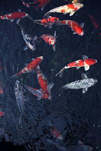peix, tinta, pintura, vent de Xina