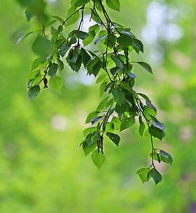 sviežosť, Zelení, listy, detailné, zelené listy, list, rastlín
